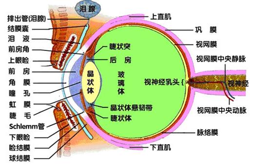 眼球结构手绘图
